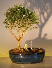 Flowering Mount Fuji Bonsai Tree For Sale Water/Land Container - Medium (serissa foetida)