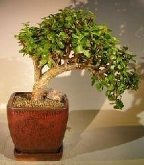 Baby Jade Bonsai Tree For Sale - Large Cascade Style (portulacaria afra)