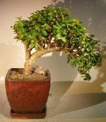 Baby Jade Bonsai Tree For Sale Large Cascade Style Portulacaria Afra Bonsai Tree Gardener