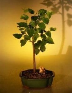 Weeping Birch Bonsai Tree For Sale (betula pendula)