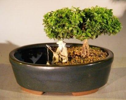 Japanese Kingsville Boxwood Bonsai Tree For Sale Land Water Container Medium Buxus Microphylla Compacta Bonsai Tree Gardener