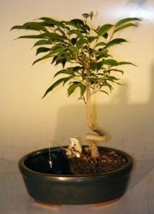 Ficus Bonsai Tree For Sale in a Water/Land Container Coiled Trunk Style (ficus 'orientalis')