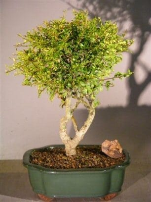 Flowering Tropical Boxwood Bonsai Tree For Sale - Large (neea buxifolia)