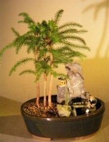 Norfolk Island Pine Bonsai Tree For Sale - Stone Landscape Scene