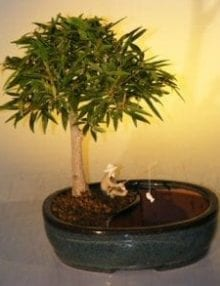 Willow Leaf Ficus Bonsai Tree For Sale Water/Land Container - Medium (Ficus Nerifolia/Salisafolia)