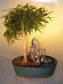 Willow Leaf Ficus Bonsai Tree For Sale Stone Landscape Scene (Ficus Nerifolia/Salisafolia)