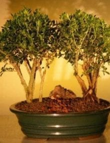Flowering Mount Fuji Serissa Double Bonsai Tree For Sale Planting (serissa foetida)