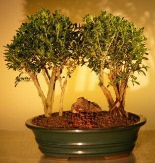 Flowering Mount Fuji Serissa Double Bonsai Tree For Sale Planting (serissa foetida)