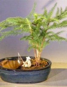 Norfolk Island Pine Bonsai Tree For Sale Water/Land Container - Medium (Araucaria Heterophila)