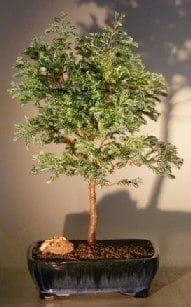 Silver Cypress Bonsai Tree For Sale (chamecyparis pisifera 'Boulevard')