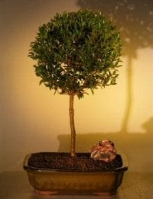 Flowering Brush Cherry Bonsai Tree For Sale - Ball Style (eugenia myrtifolia)
