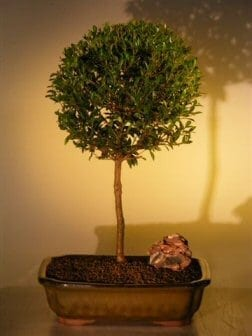 Eugenia Bonsai Tree Care Bonsai Tree