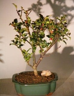 Flowering Holly Bonsai Tree For Sale (ilex)