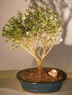 Chinese flowering white serissa bonsai tree for sale of a thousand chinese flowering white serissa bonsai tree for sale of a thousand stars serissa japonica mightylinksfo
