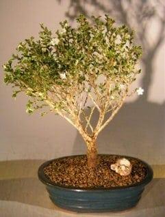 Chinese Flowering White Serissa Bonsai Tree For Sale Of A Thousand Stars Serissa Japonica Bonsai Tree Gardener