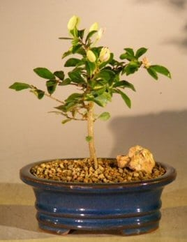 Flowering Lavender Star Flower Bonsai Tree For Sale - Small (Grewia Occidentalis)