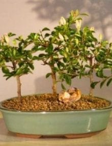 Flowering Lavender Star Flower Bonsai Tree For Sale 3 Tree Forest Group (Grewia Occidentalis)