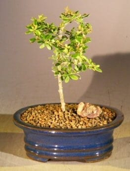 Flowering Tropical Boxwood Bonsai Tree For Sale - Small (neea buxifolia)