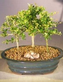 Flowering Tropical Boxwood Bonsai Tree For Sale 3 Tree Forest Group (neea buxifolia)