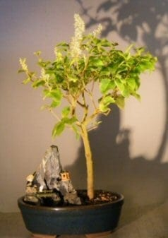 Flowering Ligustrum Bonsai Tree For Sale - Stone Landscape Scene (ligustrum lucidum)