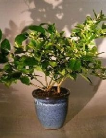 Flowering Cocktail Citrus Bonsai Tree For Sale Two Different Citrus Trees in One Pot ('Citrus Aurantifolia' and 'Citrus Meyeri')
