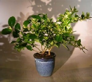 flowering cocktail citrus bonsai tree for sale two different citrus trees in one pot u0027