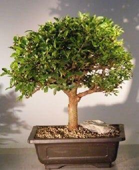 Catlin Elm Bonsai Tree For Sale Ulmus Parvifolia Catlin Bonsai Tree Gardener