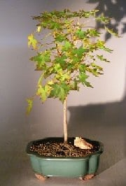 Japanese Green Maple Bonsai Tree For Sale - Large (acer palmatum)