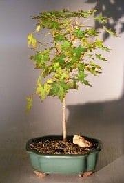 Japanese Green Maple Bonsai Tree For Sale - Large (acer palmatum)