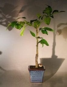 Melogold Grapefruit Bonsai Tree For Sale (Citrus Paradisi 'Macfadyen')