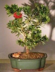 Flowering Bottlebrush Bonsai Tree For Sale - Little John - Large (Callistemon Citrinus Little John)