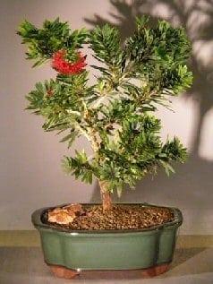 Flowering Bottlebrush Bonsai Tree For Sale Little John Large Callistemon Citrinus Little John Bonsai Tree Gardener