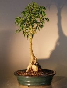 Ficus Oriental Bonsai Tree For Sale - Root Over Rock Bonsai Tree (Ficus Orientalis)