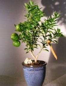 Flowering Chinotto Orange Bonsai Tree For Sale  (Citrus Myrtifolia Rafunergue)