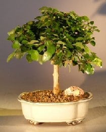 Flowering Parrot's Beak Bonsai Tree For Sale - Medium (gmelina philippensis)