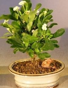 Flowering Crown of Thorns Bonsai Tree For Sale #1 - Cream / Yellow (euphorbia milii)