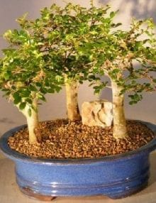 Chinese Elm Bonsai Tree For Sale - Aged 3 Tree Forest Group Scene (ulmus parvifolia)