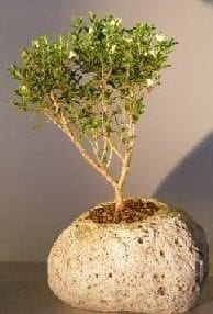 Chinese Flowering White Serissa Bonsai Tree For Sale in Lava Rock Pot Tree of a Thousand Stars (Serissa Japonica)