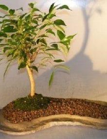 Ficus Oriental Bonsai Tree For Sale On Rock Slab (ficus 'orientalis')