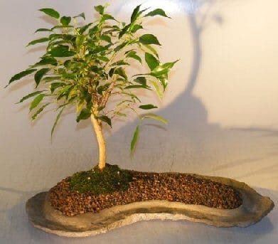 Ficus Oriental Bonsai Tree For Sale On Rock Slab (ficus 'orientalis')