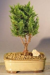 Shimpaku Bonsai Tree For Sale - Small (shimpaku itoigawa)