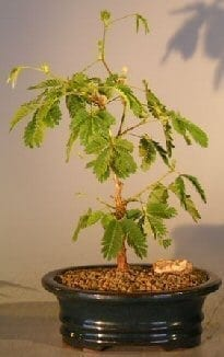Flowering Mimosa Bonsai Tree For Sale - Small (mimosa pudica)
