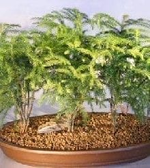 Norfolk Island Pine Bonsai Tree For Sale Seven (7) Tree Forest Group (Araucaria Heterophila)