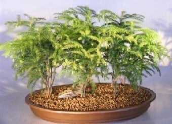 Norfolk Island Pine Bonsai Tree For Sale Seven 7 Tree Forest Group Araucaria Heterophila Bonsai Tree Gardener