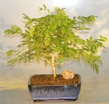 Flowering Princess Earrings Bonsai Tree For Sale - Medium