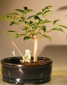 Ficus Oriental Bonsai Tree For Sale Water/Land Container - Small (ficus 'orientalis')