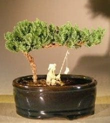 Juniper Bonsai Tree For Sale Water/Land Container - Small (juniper procumbens nana)