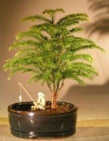 Norfolk Island Pine Bonsai Tree For Sale Land/Water Container - Small (Araucaria Heterophila)
