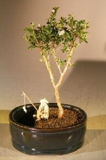 Flowering Mount Fuji Bonsai Tree For Sale Water/Land Container - Small (serissa foetida)