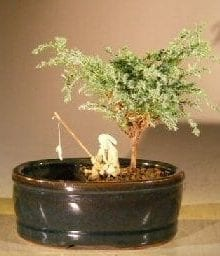 Blue Moss Cypress Bonsai Tree For Sale Water/Land Container - Small (Chamecyparis glauca minima)